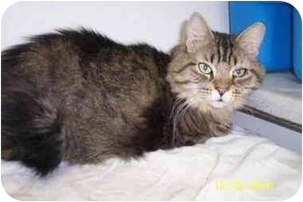 Domestic Longhair Cat for adoption in Quincy, Massachusetts - Lady