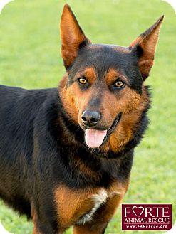 Australian Kelpie/Australian Shepherd Mix Dog for adoption in Marina del Rey, California - Reese