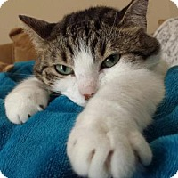Domestic Shorthair Cat for adoption in San Clemente, California - Dottie