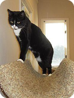 Domestic Shorthair Cat for adoption in Toledo, Ohio - Lindsey
