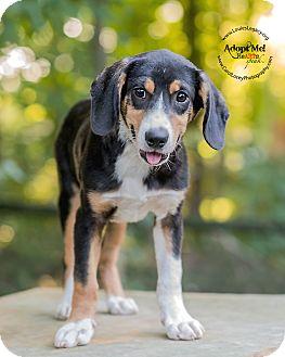 Beagle Mix Puppy for adoption in Cincinnati, Ohio - Will