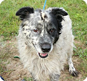 Australian Shepherd Mix Dog for adoption in White Cloud, Michigan - Daisy