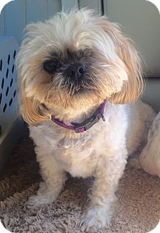 Shih Tzu Mix Dog for adoption in Mount Pleasant, South Carolina - Charlie