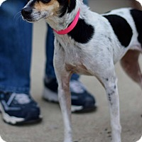 Italian Greyhound/Rat Terrier Mix Dog for adoption in East Brunswick, New Jersey - Mary