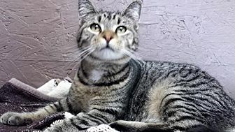 Domestic Shorthair Cat for adoption in Seaford, Delaware - Melvin