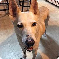 Adopt A Pet :: Foxy - Boyertown, PA