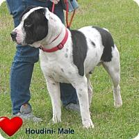 Adopt A Pet :: Houdini - Pensacola, FL