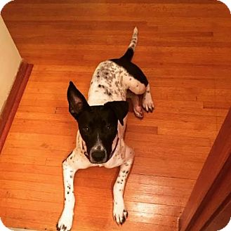 Dalmatian/Cattle Dog Mix Dog for adoption in Pendleton, New York - Jackie