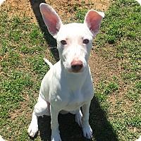 Adopt A Pet :: Opal - Nashville, TN