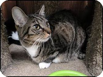 Domestic Shorthair Cat for adoption in Toluca Lake, California - Fitz