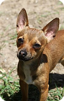 Chihuahua Mix Puppy for adoption in Muskegon, Michigan - Brady
