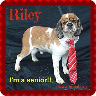 Cocker Spaniel Mix Dog for adoption in Plano, Texas - Riley