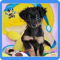 Adopt A Pet :: Tank - Albany, NY
