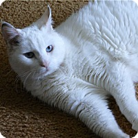 Adopt A Pet :: Angel - Colmar, PA