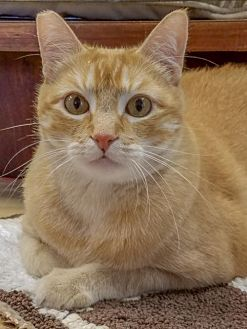 Domestic Shorthair Cat for adoption in Lafayette, Louisiana - Danny Boy