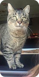 Domestic Shorthair Cat for adoption in Hampton, Illinois - Bubbe