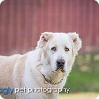 Adopt A Pet :: Atlas - McKinney, TX
