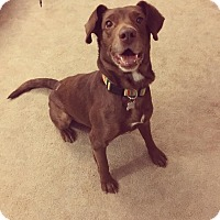 Labrador Retriever Dog for adoption in Laingsburg, Michigan - Prince
