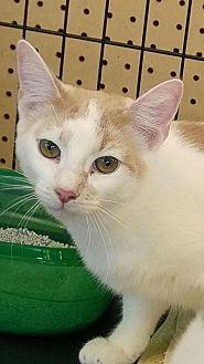 Domestic Shorthair Kitten for adoption in Sarasota, Florida - Clyde