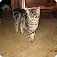 Domestic Shorthair Kitten for adoption in Glendale, Arizona - Tonks