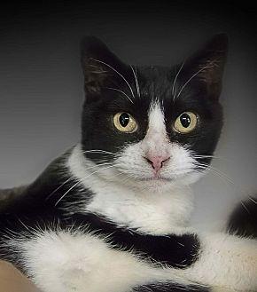 Domestic Shorthair Cat for adoption in Belton, Missouri - Jacqueline