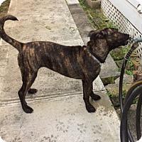Adopt A Pet :: Juliet - Fort Collins, CO