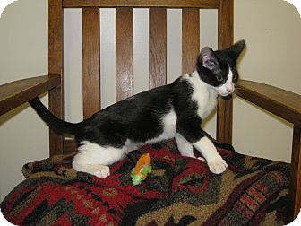 Domestic Shorthair Kitten for adoption in Los Angeles, California - William