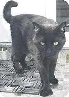 Domestic Shorthair Cat for adoption in Miami, Florida - Cosmo