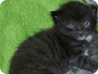 Domestic Shorthair Kitten for adoption in Xenia, Ohio - Chewbaca