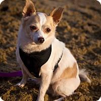 Papillon/Chihuahua Mix Dog for adoption in Orange, California - Princess