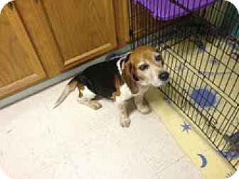 Beagle Dog for adoption in Maryville, Tennessee - Rio