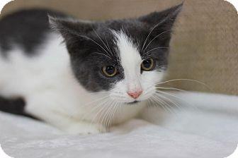 Domestic Shorthair Kitten for adoption in Midland, Michigan - TJ - $10!