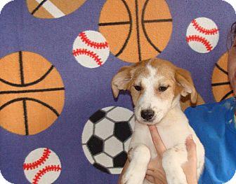 Australian Shepherd/Labrador Retriever Mix Puppy for adoption in Oviedo, Florida - Kara