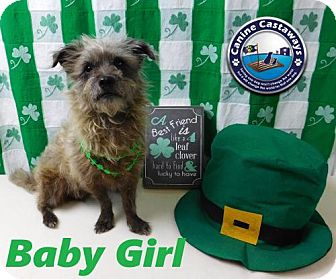 Cairn Terrier/Poodle (Miniature) Mix Dog for adoption in Arcadia, Florida - Baby Girl