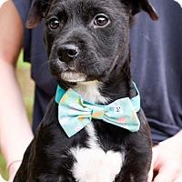 Adopt A Pet :: PUPPY ! - Virginia Beach, VA
