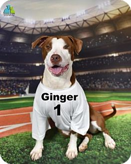 Pit Bull Terrier Mix Dog for adoption in Gulfport, Mississippi - Ginger HAVE A HEART