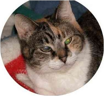 Domestic Shorthair Cat for adoption in Milford, Ohio - Aggie
