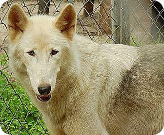 German Shepherd Dog/Alaskan Malamute Mix Dog for adoption in Orlando, Florida - Wolfdog - Kito