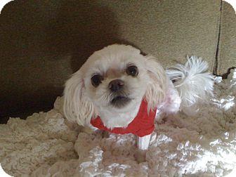 Maltese/Shih Tzu Mix Dog for adoption in Hilliard, Ohio - Roxy