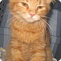 Adopt A Pet :: Simba - Dallas, TX