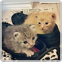 Adopt A Pet :: Dutch - Bentonville, AR
