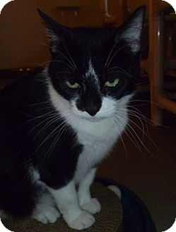 Domestic Shorthair Cat for adoption in Hamburg, New York - Lucy