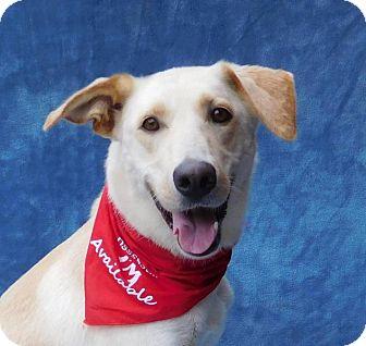 Labrador Retriever/Shepherd (Unknown Type) Mix Dog for adoption in Charlotte, North Carolina - Riley