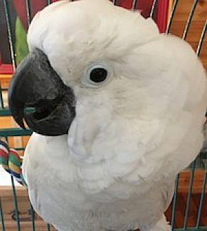 Cockatoo for adoption in Asheville, North Carolina - Sebastian
