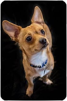 Chihuahua/Terrier (Unknown Type, Small) Mix Dog for adoption in Santa Clara, California - Luke-ADOPTED