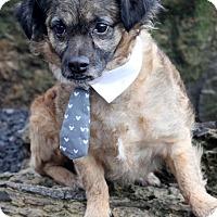 Terrier (Unknown Type, Small)/Pekingese Mix Dog for adoption in Dalton, Georgia - Bear