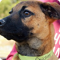 Adopt A Pet :: Snickers ~ meet me! - Glastonbury, CT