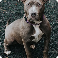 Adopt A Pet :: Dasha - Indianapolis, IN