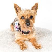 Yorkie, Yorkshire Terrier Dog for adoption in St. Louis Park, Minnesota - Kiki