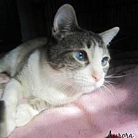 Manx Cat for adoption in Mansfield, Ohio - Aurora